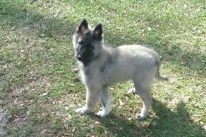 tervuren puppy Ataras Del Rio